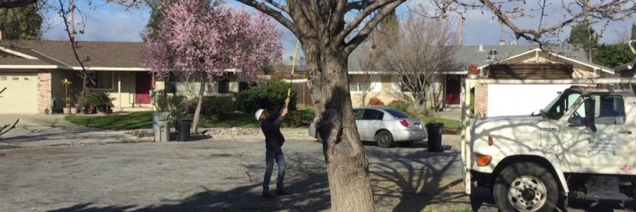 How To Prune Bradford Pear Trees